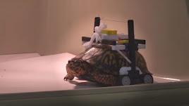 La tortuga herida puede caminar gracias a este curioso invento.