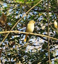 Photo: 撮影者:佐藤サヨ子 ジョウビタキ タイトル:雨上がりの後に 観察年月日:2015年1月27日 羽数:1羽(♀) 場所:高幡台団地緑地 区分:行動 メッシュ:武蔵府中 コメント:雨が上がったようだったので裏山に入ってみましたが、木々は濡れて鳥の姿もなかったのですが陽が差し込んでくると鳥たちの姿も見えるようになってきました。目の前に飛んできたジョウビタキの♀は久しぶりにここで見る姿でした。
