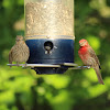 House Finch (Female, left; Male, right)