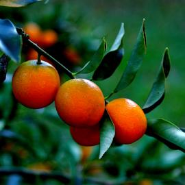 Kumquats by Noel Hankamer - Nature Up Close Other plants ( orange, green, fruit, tree, ripe, kumquats,  )