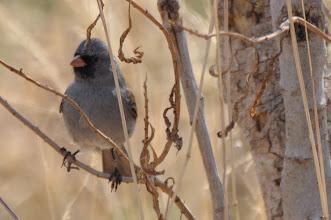 Photo: Black-chinned Sparrow (Schwarzkinnammer); San Miguel Allende, GTO