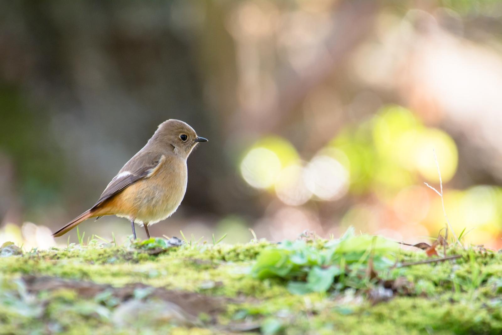 Photo: 息づく春の大地 Spring earth to breathe.  聞こえてくる 春の足音 少しずつ少しずつ 草木たちが息づいていく  Photo of Daurian Redstart. (ジョウビタキ)  #cooljapan #365cooljapanmay  #birdphotography #birds  #sigma #kawaii  #日本の写真文化を海外へ  Nikon D7100 SIGMA APO 50-500mm F5-6.3 DG OS HSM [ Day291, February 27th ]  小鳥の詩朗読 http://youtu.be/slrfZo4mzQI?list=PL2YtHGm0-R3qVsaqvQe9OYdJFCkI98wzF
