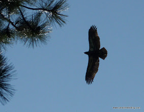 Photo: Hatch-year Bald Eagle flying low overhead at Wizard Falls hatchery. Metolius River.