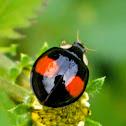 Coelophora ladybug