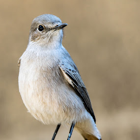 Familiar  Chat by Carola De Jager - Animals Birds
