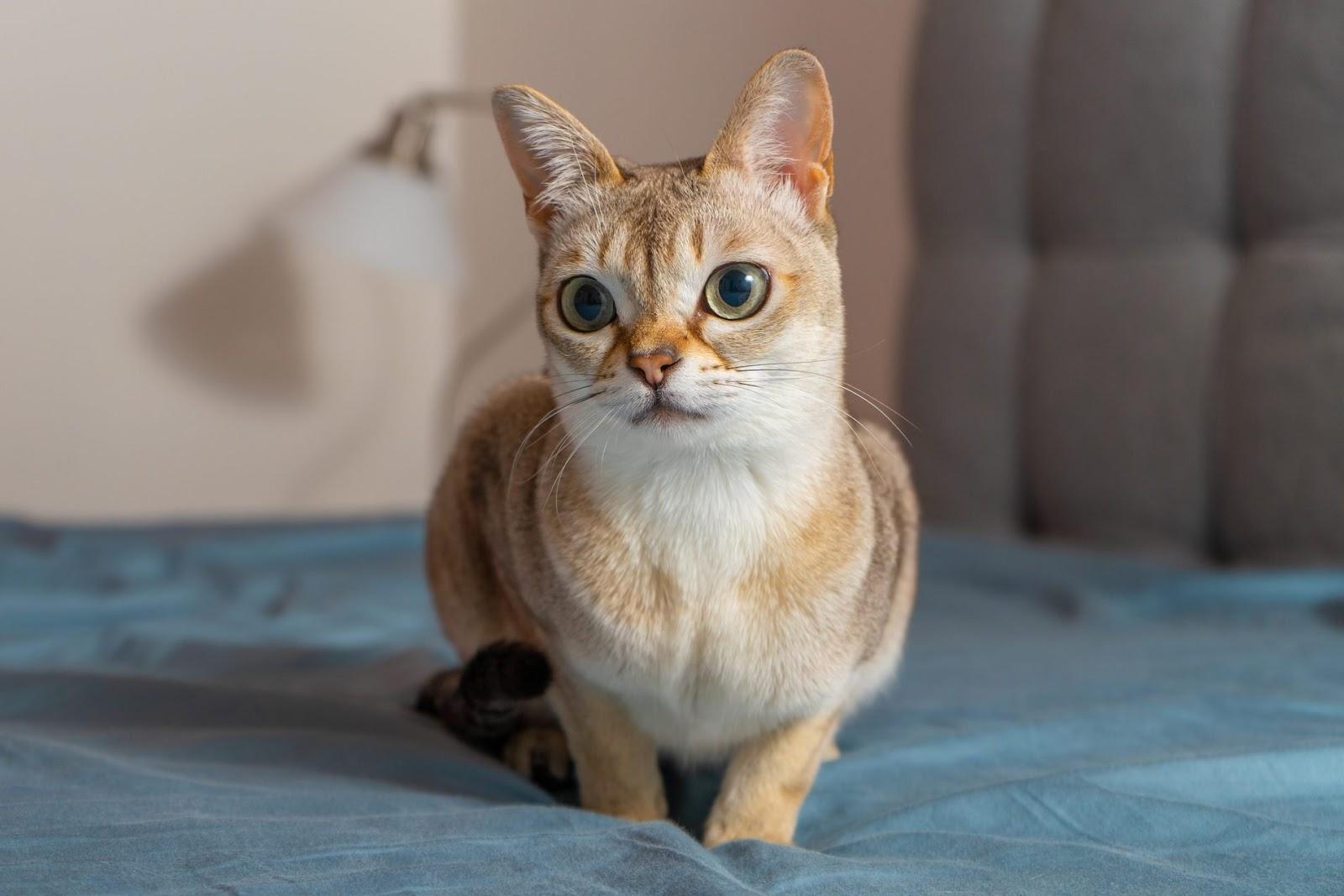 Mèo Singapura rất nhỏ nhắn