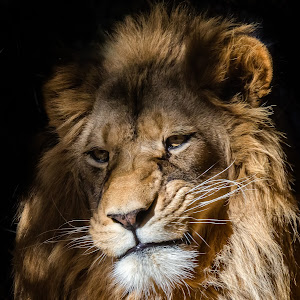African Lion-17.jpg