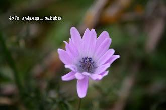 Photo: ΑΝΕΜΩΝΗ Η ΚΗΠΑΙΑ anemone hortensis ΠΕΡΟΝΙΔΕΣ ΜΕΡΑΜΒΕΛΛΟΥ
