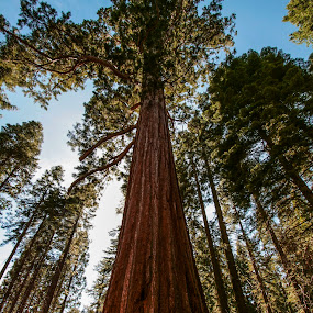 Redwoods by Chris Seaton - Nature Up Close Trees & Bushes ( forest, nature, redwood, looking up, trees,  )