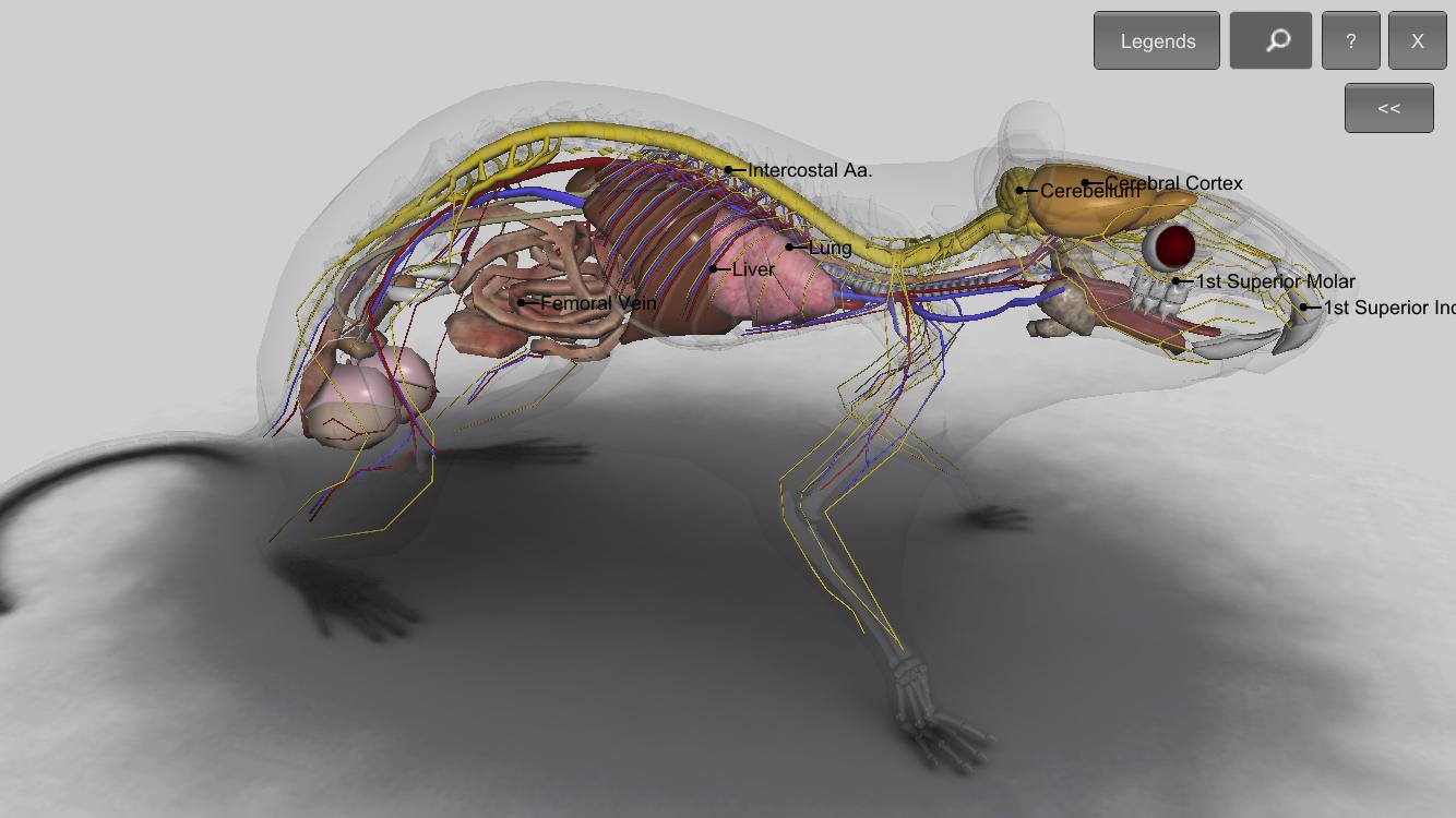 Rat vascular anatomy