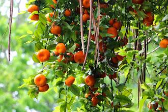 Photo: Tangerine tree