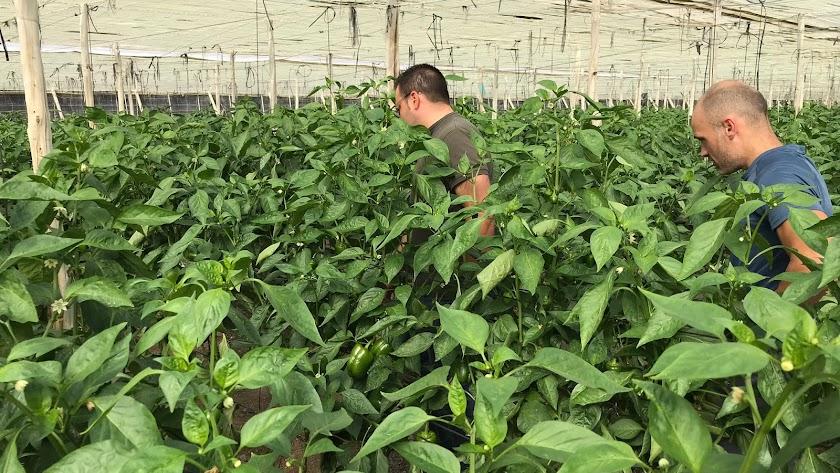 Cultivo de la Escuela Agraria de Vícar.