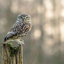Little Owl Portrait by Tim Clifton - Animals Birds ( owl, bird of prey, bird photography, owls, birds, wildlife )
