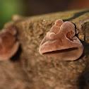 Wood ear fungus