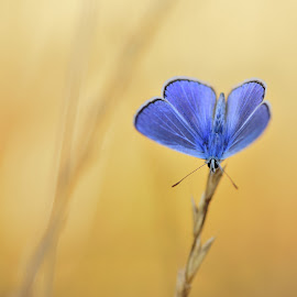 bleu by Ruurd Visser - Animals Insects & Spiders ( macro, bleu, nature, animale, butterfly,  )