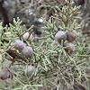 Greek juniper