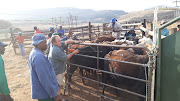 Livestock owners were also part of the operation to help identify their stolen animals.