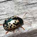 Calligrapha (leaf) Beetle