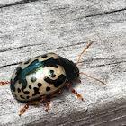 Calligrapha (leaf) Beetle