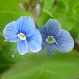 Duo by Helena Moravusova - Flowers Flowers in the Wild ( flowers, blue )