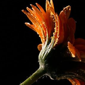 After the rain... by Joseph Quartson - Nature Up Close Flowers - 2011-2013 ( drops, stem, yellow, gerbera, flower )