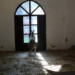 Kangaroo by Gordana Djokic - Animals Other ( kangaroo, prison, freedom, watching, animal )