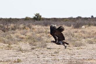 Photo: Central Kalahari NP - Vulture / Central Kalahari NP - Sup