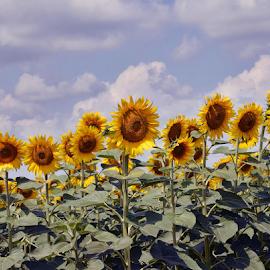 sunflowers field by LADOCKi Elvira - Flowers Flowers in the Wild