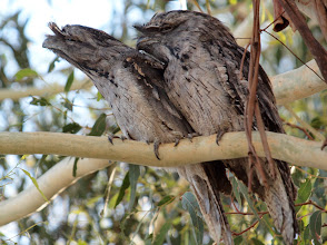 Photo: Tawny Frogmouths