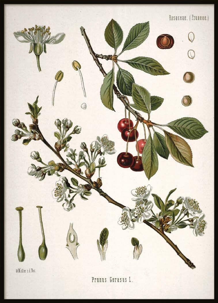 Vintage Cherry, Poster