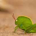 Hooded Grasshopper