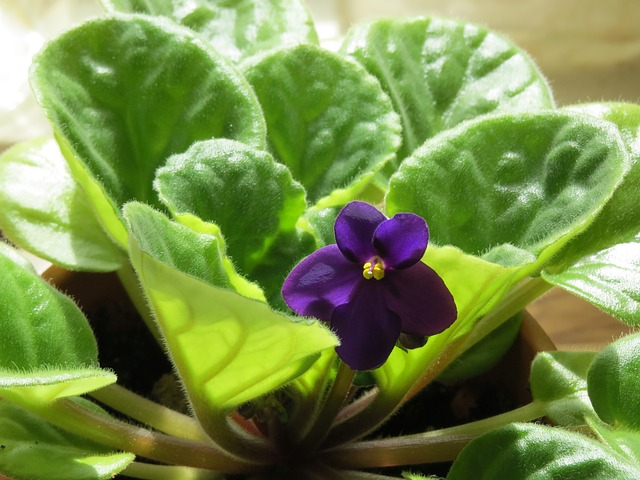 African Violets are non-toxic to dogs.