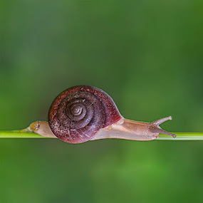 Snail by Brothers Photography - Animals Other ( animals, gastropoda, animalia, snail, mollusca, animal,  )