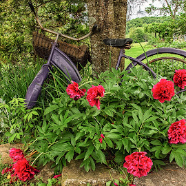 Anne's Bicycle by Sandi Phillips Miller - Artistic Objects Antiques ( peonies, flowers, pink, bicycle, old, purple, antique )