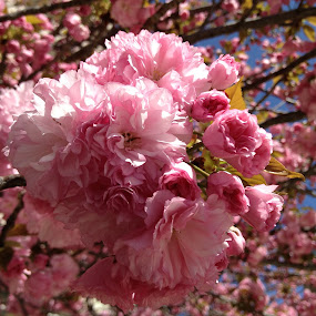 Crabapple tree in bloom by Bill Frank - Nature Up Close Trees & Bushes