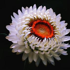 whirlwind flower by Ruy Lopes - Flowers Single Flower ( pétalas brancas, centro laranja, branca, turbilhão, flor, noite )