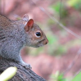 Squirrel peek by Hendriette Reyneke - Animals Other (  )