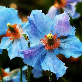 The Springtime Blues by Kenneth Cox - Flowers Single Flower ( spring flowers, flowers, longwood gardens, springtime, blue,  )