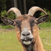 Tải Funny Goat Sounds miễn phí