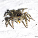 Juvenile Jumping Spider with Prey