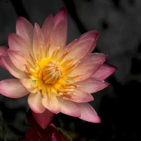 by Philips Onggowidjaja - Flowers Single Flower