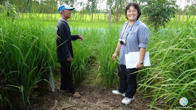 Photo: Smart farmer showing SRI plant- FPAR (Chumphonburi, Surin)
