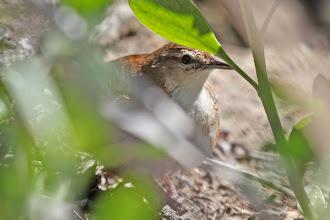 Photo: African Bush-Warbler
