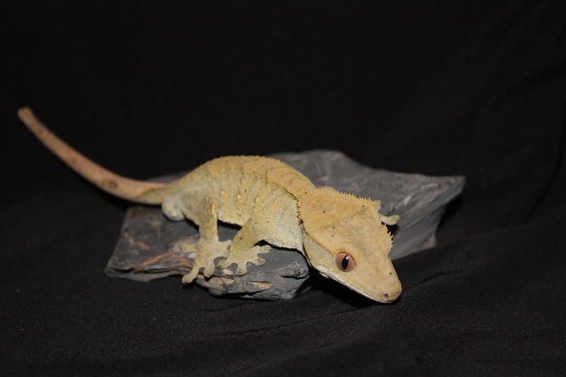Olive brindle crested gecko