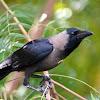 House crow (Corvus splendens) / காக்கா (kakka)