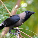 House crow (Corvus splendens) / காக்கா (kakka)