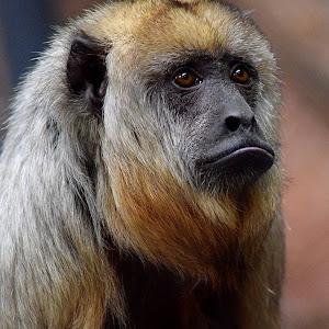 Howler Monkey Ponders2.jpg