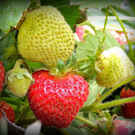 We'll Be Picking Strawberries For A While! by Becky Luschei - Nature Up Close Gardens & Produce ( strain, different stages, very productive, strawberries, growth, picking )