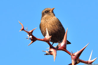 Photo: Ant-eating Chat (Afrikaans: Swartpiek) in the Mokala National Park