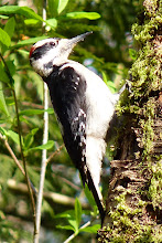 Photo: Hairy Woodpecker is very similar to the Downy Woodpecker only larger and has a longer beak: http://www.allaboutbirds.org/guide/hairy_woodpecker/id